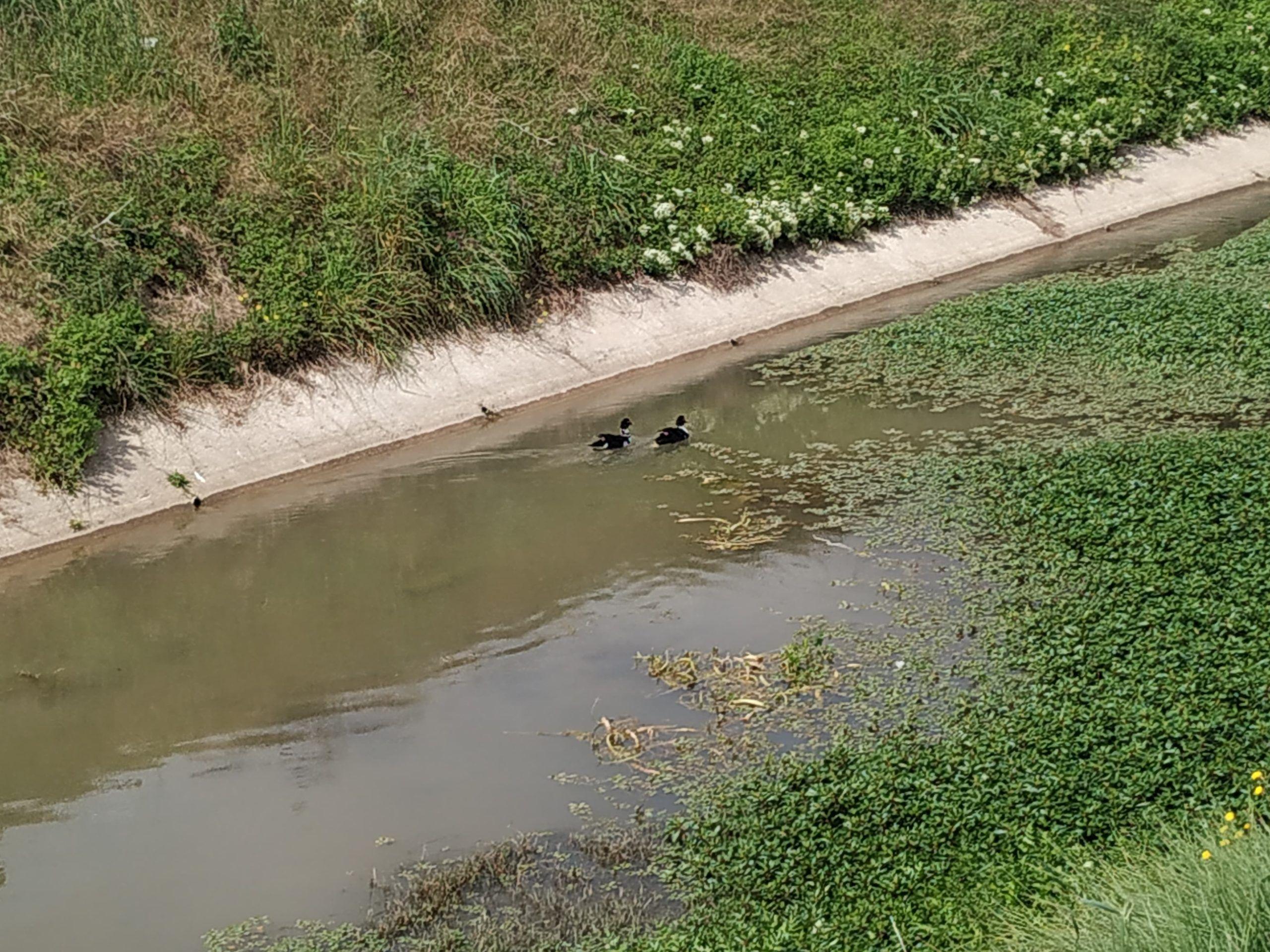 Los patos nadando